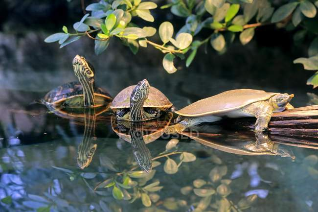 Spiny softshell turtle and red-eared slider turtles in water, close-up — стокове фото