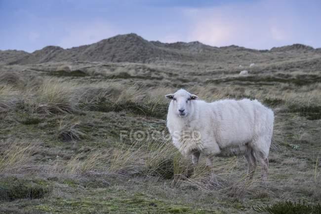 Pecora in piedi nelle dune, Ellenbogen, Sylt, Nord Frisia, Schleswig-Holstein, in Germania, Europa — Foto stock