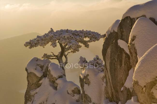 Snow covered pine on rocks on Peilstein hill in Lower Austria — Stock Photo