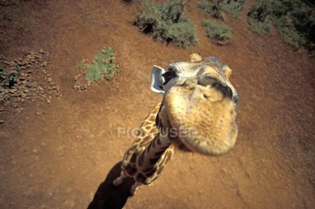 High angle view of giraffe looking in camera in desert — Stock Photo