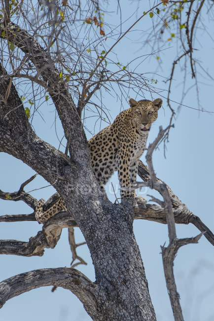 Leopard standing on tree lookout, Etosha National Park, Namibia, Africa — стоковое фото