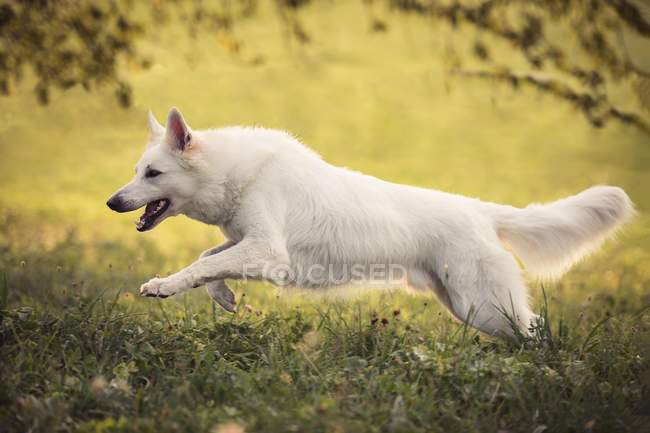 White Swiss Shepherddog jumping over green meadow, side view — Stockfoto