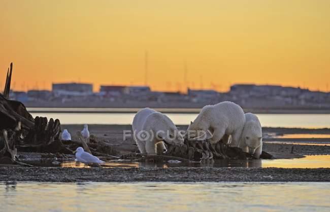 Polar bears eating on skeleton of whale on gravel island at sunset behind Eskimo settlement Kaktovik, Beaufort Sea, Arctic Ocean, Alaska, USA, North America — Stock Photo