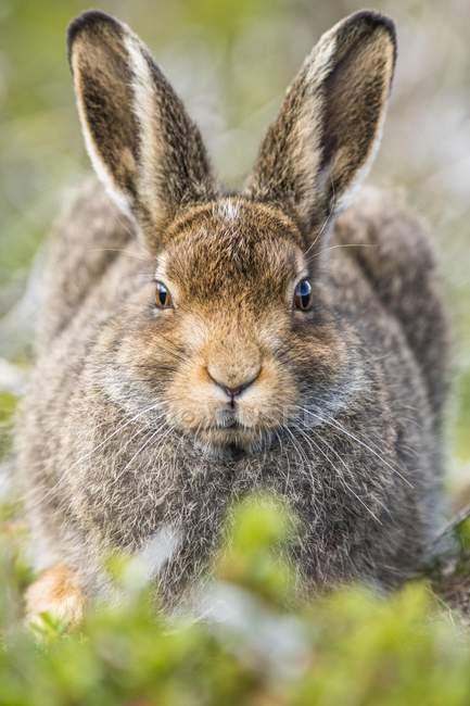 Заяц-беляк в летние пальто, сидя в среде обитания, макро — стоковое фото
