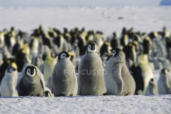 Pulcini di pinguino imperatore in piedi sulla neve in Antartide — Foto stock