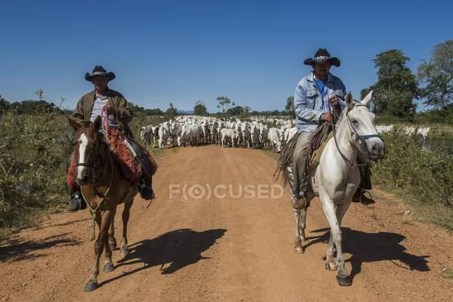 Cowboy a cavallo con mandria di bestiame Nelore su sterrato, Pantanal, Mato Grosso do Sul, Brasile, Sud America — Foto stock