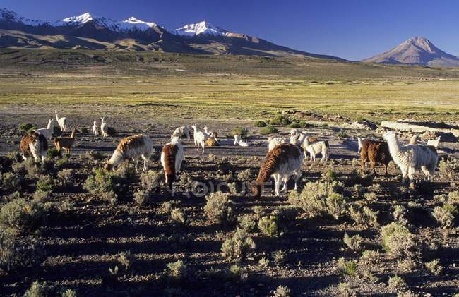 Llamas on bofedal near Colchane with Cerro Cabaray in Isluga National Park, Chile, South America — Foto stock