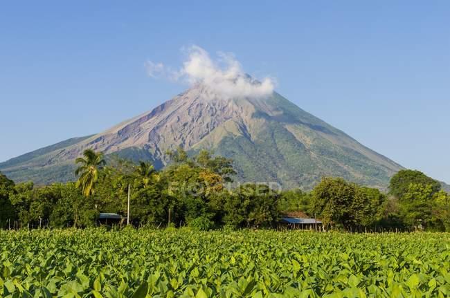 Campo di tabacco fronte vulcano Concepcion, Ometepe, Nicaragua, America centrale — Foto stock