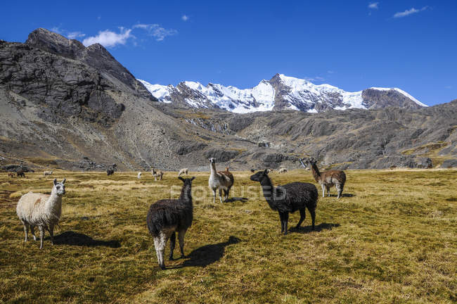 Group of alpacas grazing on Bolivian plateau, Altiplano, Bolivia, South America - foto de stock