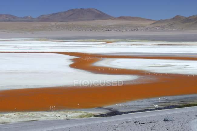Laguna Colorada mit Flamingos und Alpakas in Sur Lipez, Bolivien, Südamerika — Stockfoto