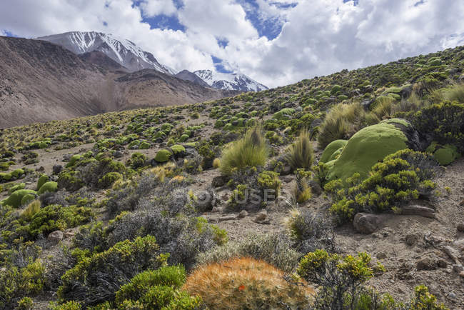 Maihueniopsis cacti growing on slope of Taapaca volcano, Putre, Arica y Parinacota Region, Chile, South America — стокове фото