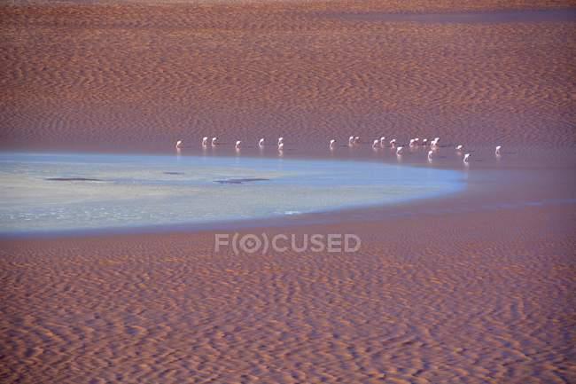 Flamingos in der Laguna Colorada mit roten Wasser in Uyuni, Sur Lipez, Bolivien, Südamerika — Stockfoto