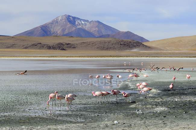 Flamingos in water of Laguna Hedionda in Nor Lipez, Bolivia, South America — стоковое фото