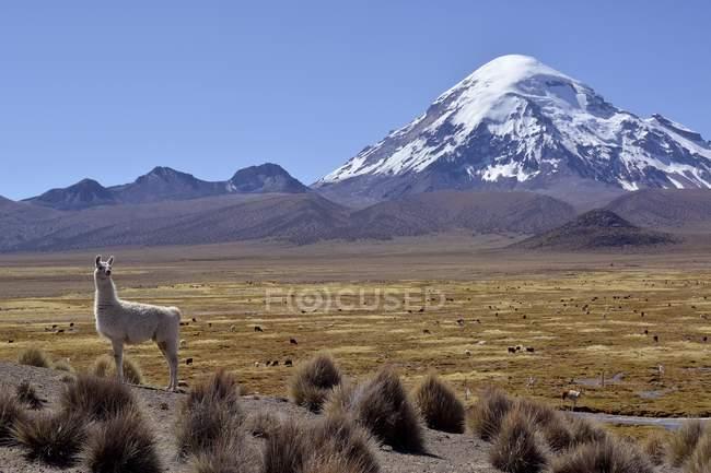 Llamas grazing on barren meadow in front of Nevado Sajama volcano, Sajama National Park, Bolivia, South America — стоковое фото