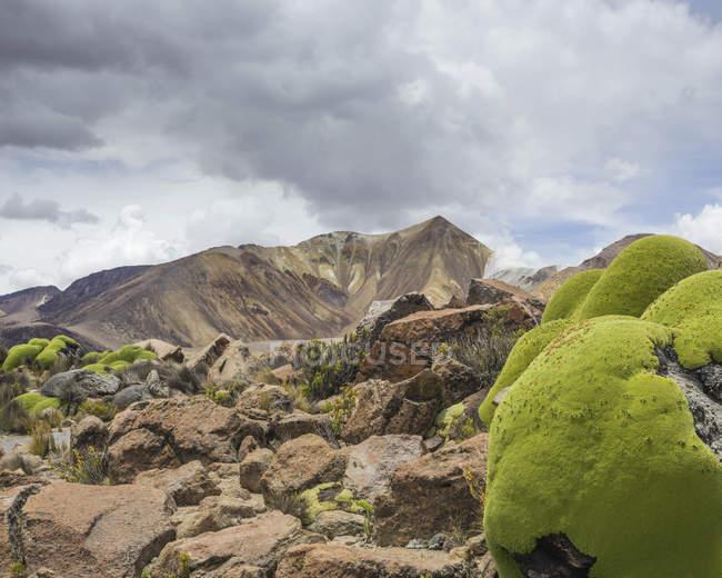 Yareta cushion plants growing on slope of Taapaca volcano, Arica y Parinacota Region, Chile, South America — стокове фото