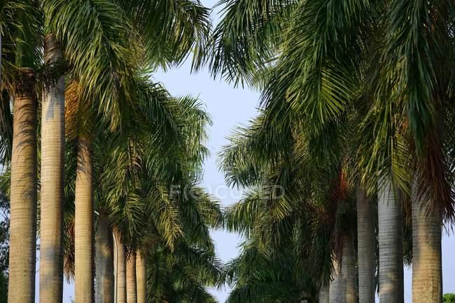 Inquadratura dal basso del viale con le palme royal Hernandarias, Alto Paranà, Paraguay, Sud America — Foto stock