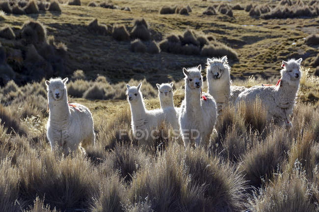 Lhamas brancas Paja grama, Parque Nacional de Sajama, Bolívia, América do Sul — Fotografia de Stock