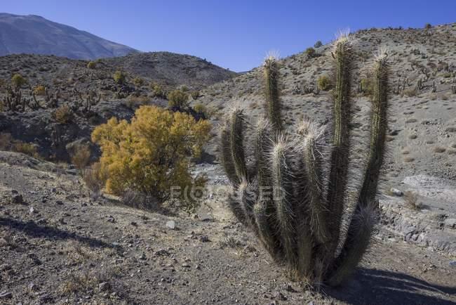 Кактус Киско, растущих в бесплодной Рио Уртадо, региона де Кокимбо, Чили, Южная Америка — стоковое фото