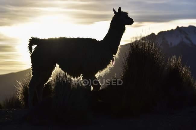 Sagoma di lama contro la montagna di sera luce a Cusco, Ande, Perù, Sud America — Foto stock