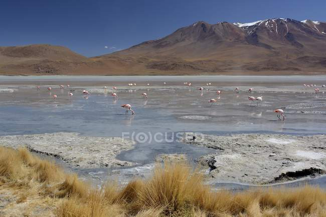 Laguna Hedionda with flamingos in Uyuni, Sur Lipez, Bolivia, South America — стоковое фото
