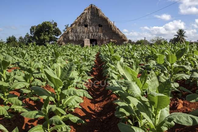 Tobacco field and barn in Vinales Valley, Pinar del Rio Province, Cuba, Central America — Stock Photo