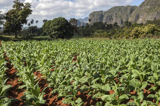 Tobacco field with karst mountain landscape in Vinales Valley, Pinar del Rio Province, Cuba, Central America - foto de stock