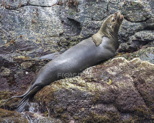 Leone marino sudamericano che riposa sulle rocce in Coquimbo Region, Cile, Sud America — Foto stock