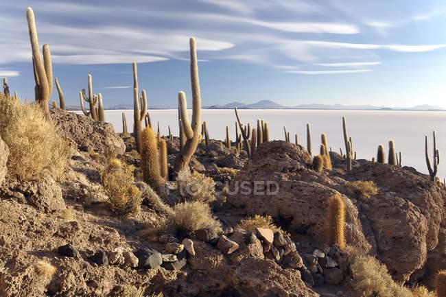 Kakteen wachsen auf Isla Incahuasi des Salar de Uyuni, Altiplano, Bolivien, Südamerika — Stockfoto