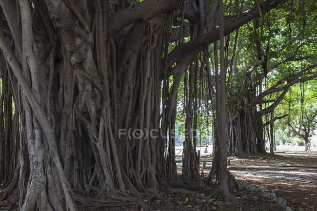 Indian banyan tree roots in park of Havana, Cuba, Central America — Stock Photo