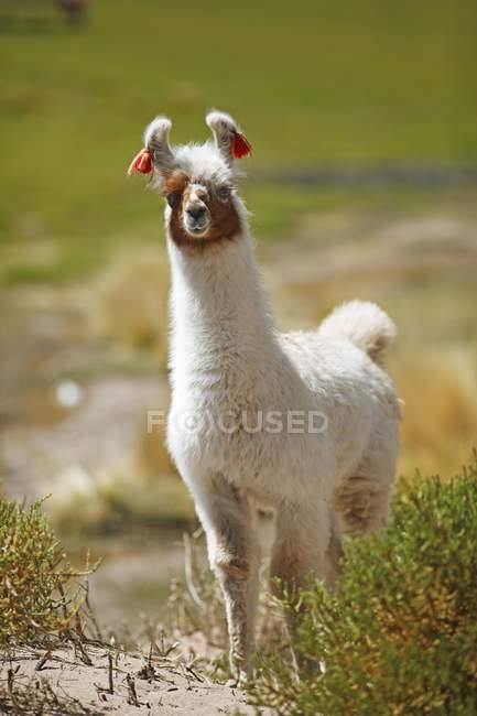 Lama domestico con decorazioni di orecchio in piedi sulla sabbia erboso in provincia di Jujuy, Argentina, Sud America — Foto stock