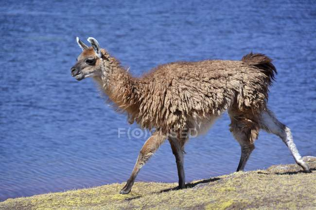 Brown llama walking in front of lake, Altiplano, Bolivia, South America — Fotografia de Stock