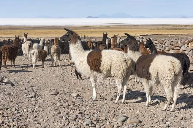 Llamas herd in barren landscape, Altiplano, Colchani, Potosi, Bolivia, South America — стоковое фото