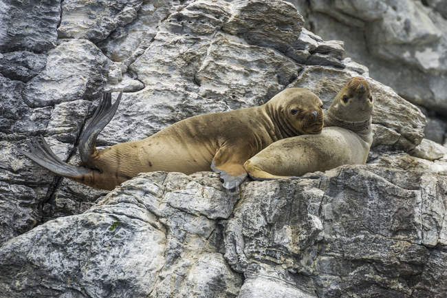 South American sea lions resting on rocks in Coquimbo Region, Chile, South America — Foto stock