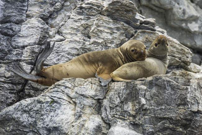 Leoni marini sudamericani riposo sulle rocce in Coquimbo Region, Cile, Sud America — Foto stock