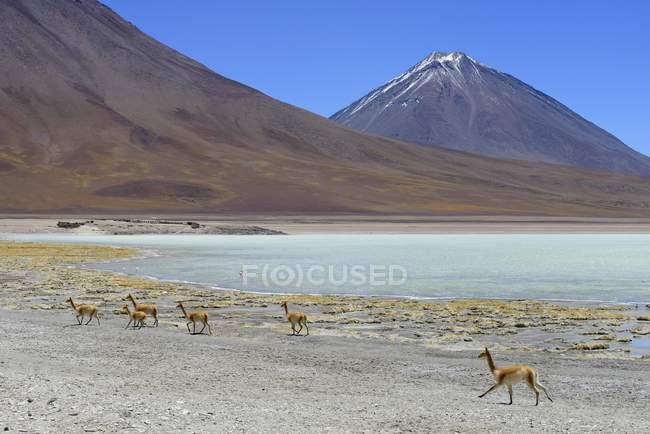 Vigognes pâturage en face de la Laguna Verde et le volcan Licancabur à Potosi, en Bolivie, en Amérique du Sud — Photo de stock