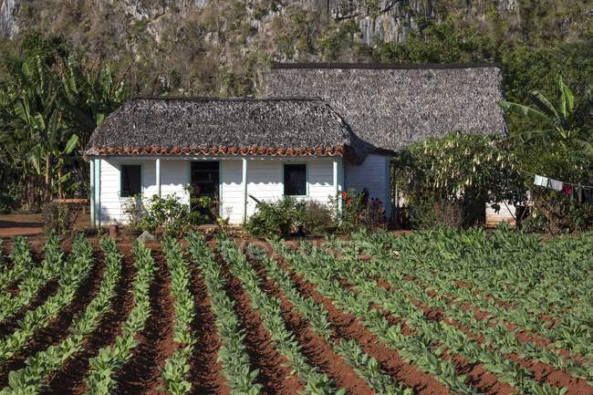 Tobacco field and farm house in Vinales Valley, Pinar del Rio Province, Cuba, Central America — стокове фото