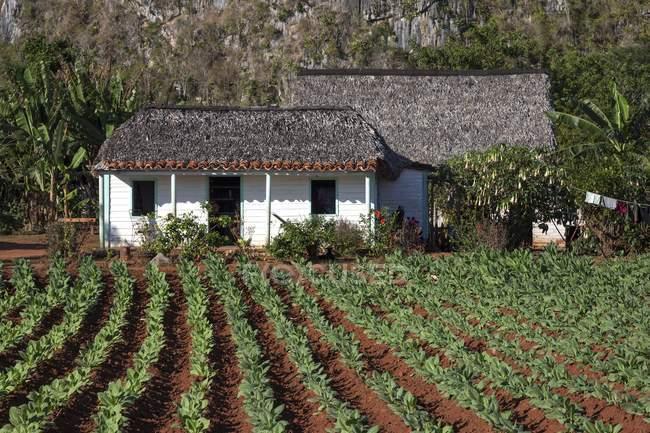 Maison de champ et la ferme du tabac dans la vallée de Vinales, Pinar del Rio Province, Cuba, l'Amérique centrale — Photo de stock