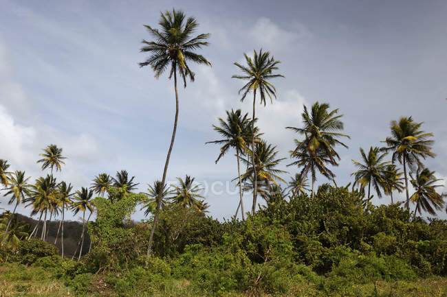 Arbres de noix de coco palm Little Tobago, Trinidad and Tobago, Amérique du Nord — Photo de stock