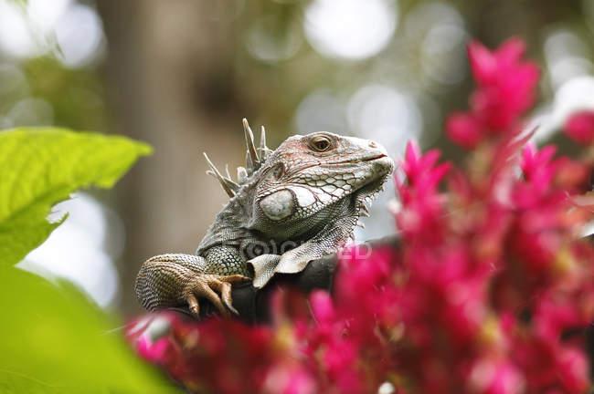Green iguana lizard in flowery forest of Costa Rica — стоковое фото