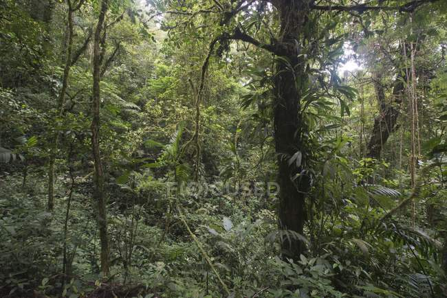 Green jungle foliage of cloud forest reserve in Costa Rica, Central America — стокове фото