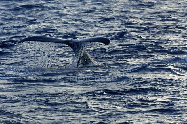 Humpback whale hitting tail on water surface in Atlantic Ocean by Dominican Republic, Central America — стокове фото