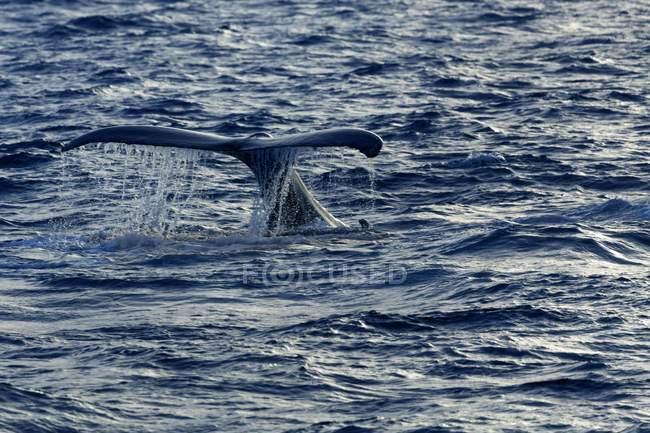 Горбатых китов, ударяя хвостом на поверхности воды в Атлантическом океане, Доминиканская Республика, Центральная Америка — стоковое фото