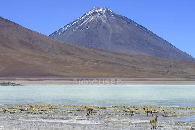 Vicunas випасу Лагуна-Верде і вулкан Ліканкабур Потосі, Болівія, Південної Америки — стокове фото