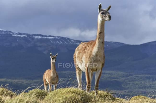 Guanachi in piedi sulla cresta della montagna in Tamango riserva nazionale a Cochrane, Patagonia, Cile, Sud America — Foto stock
