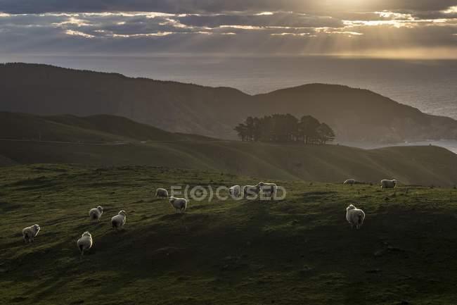 Ovejas en pasto en noche de humor, sonidos de Marlborough Picton, Isla Sur, Nueva Zelanda, Oceanía - foto de stock