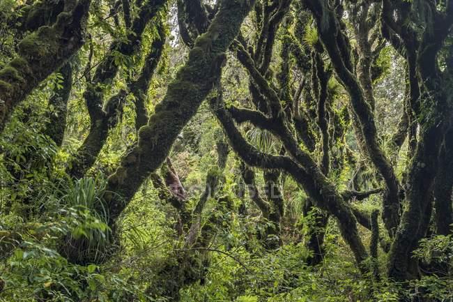 Alberi coperti di muschio denso nella foresta pluviale, Goblin Forest, Parco nazionale Egmont, Taranaki, North Island, Nuova Zelanda, Oceania — Foto stock