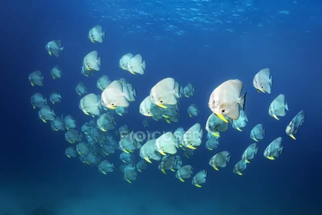 Swarm of Longfin batfish swimming in open sea, Indian Ocean — Stock Photo