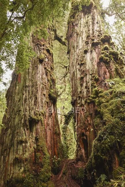 Фіцройя дерева заростають мохи та лишайники, Pumalin-парк, Chaiten, регіон де-Лос-Лаґос, Патагонії, Чилі, Південна Америка — стокове фото