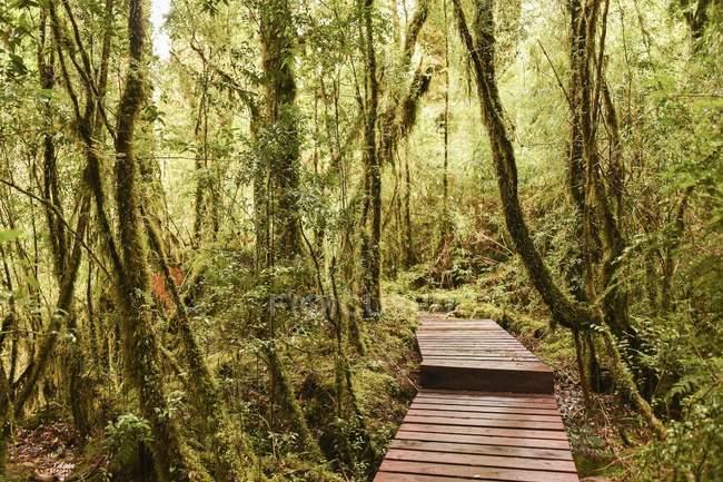 Дерев'яний шлях через ліс з мох, папороті і лишайники, Pumalin-парк, Chaiten, регіон-де-Лос-Лаґос, Патагонії, Чилі, Південна Америка — стокове фото