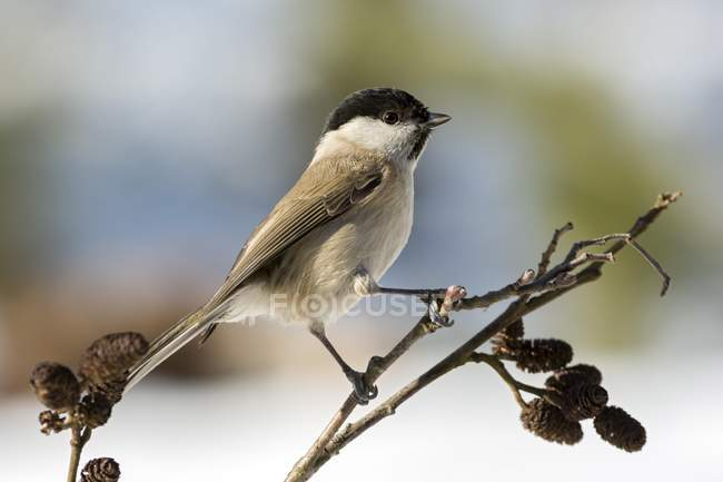 Marsh tit sitting on branch, close-up — Stock Photo